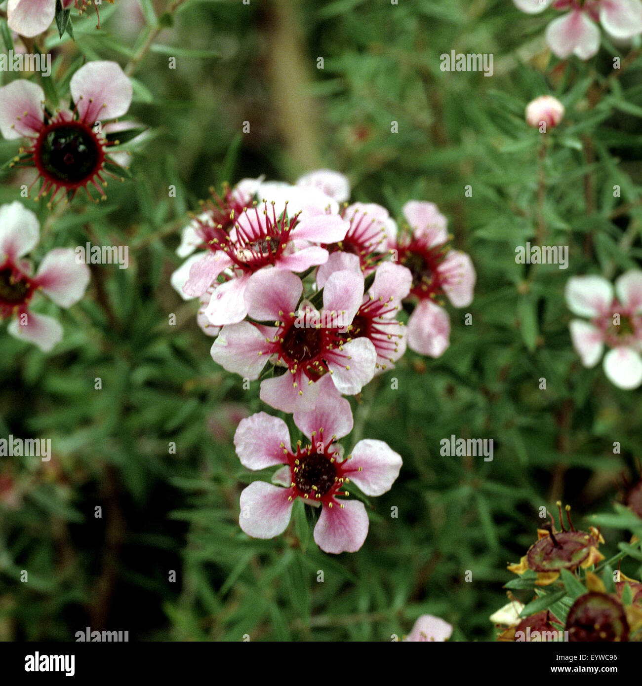 Rosenmyrte, Leptospermum scoparium, Teebaum, Teebaum in Neuseeland Stock Photo