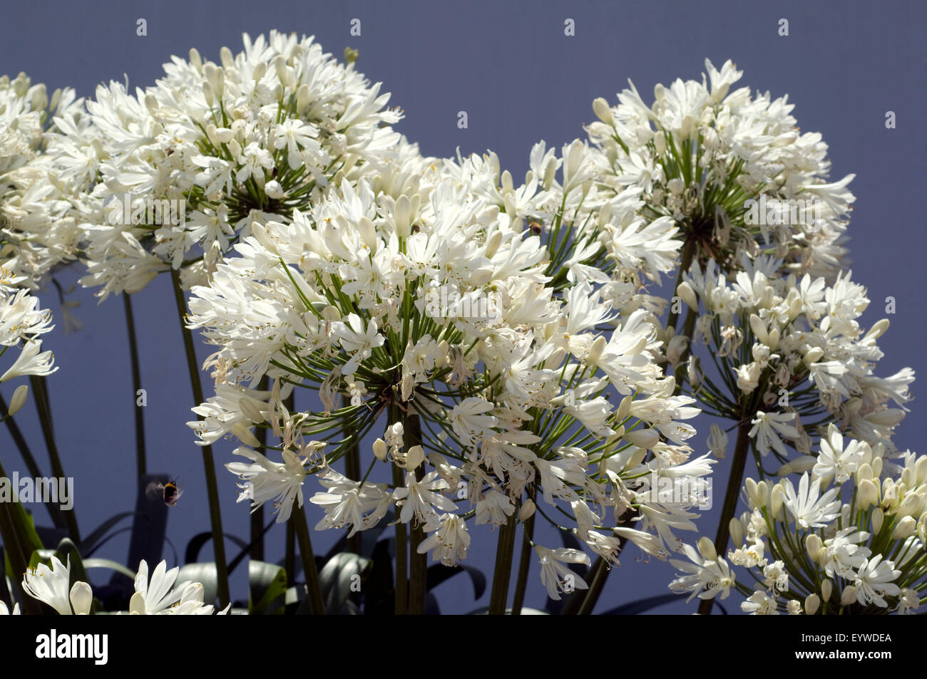 Schmucklilie, Agapanthus weiss - Stock Image