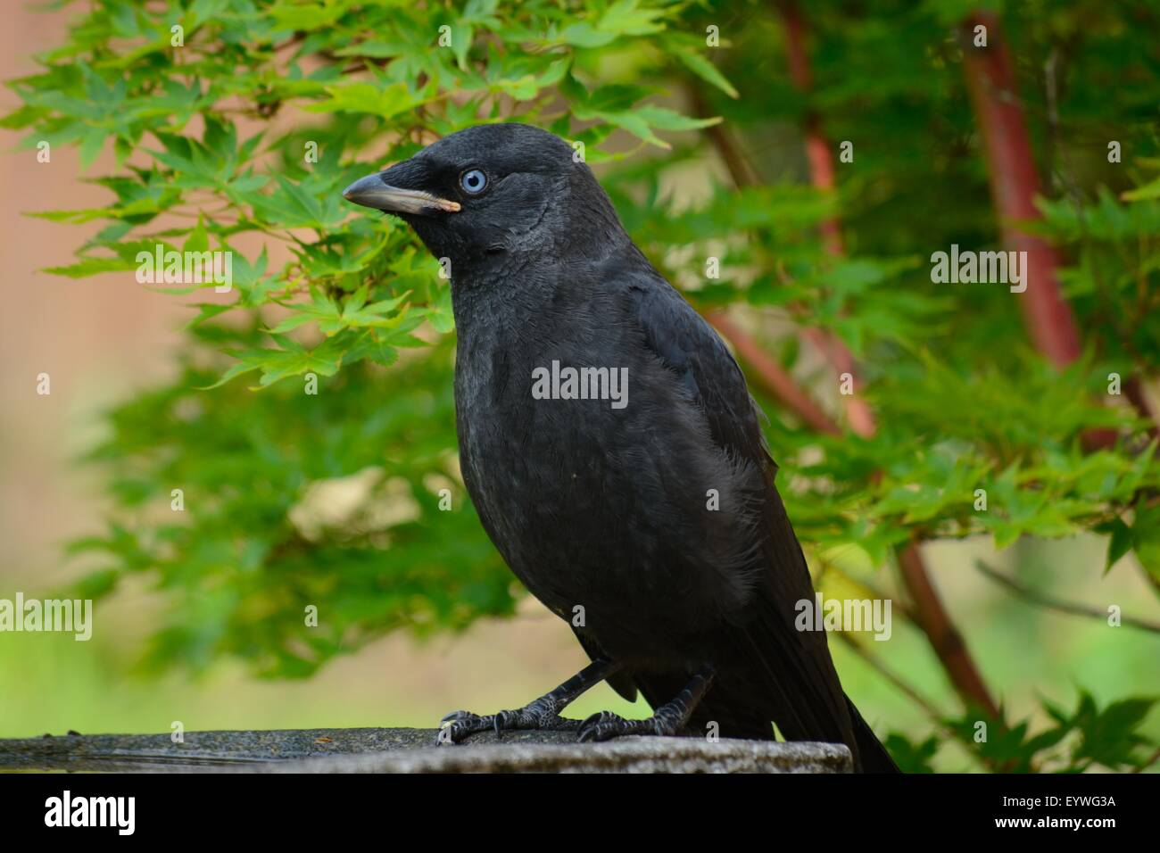 A young Jackdaw perched on the edge of a bird bath. - Stock Image