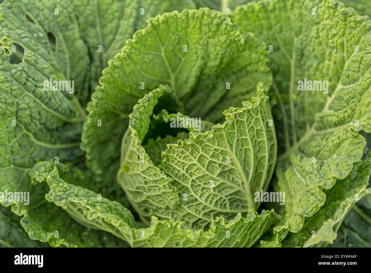 Close Up Of Savoy Cabbage Growing In The Historical Garden