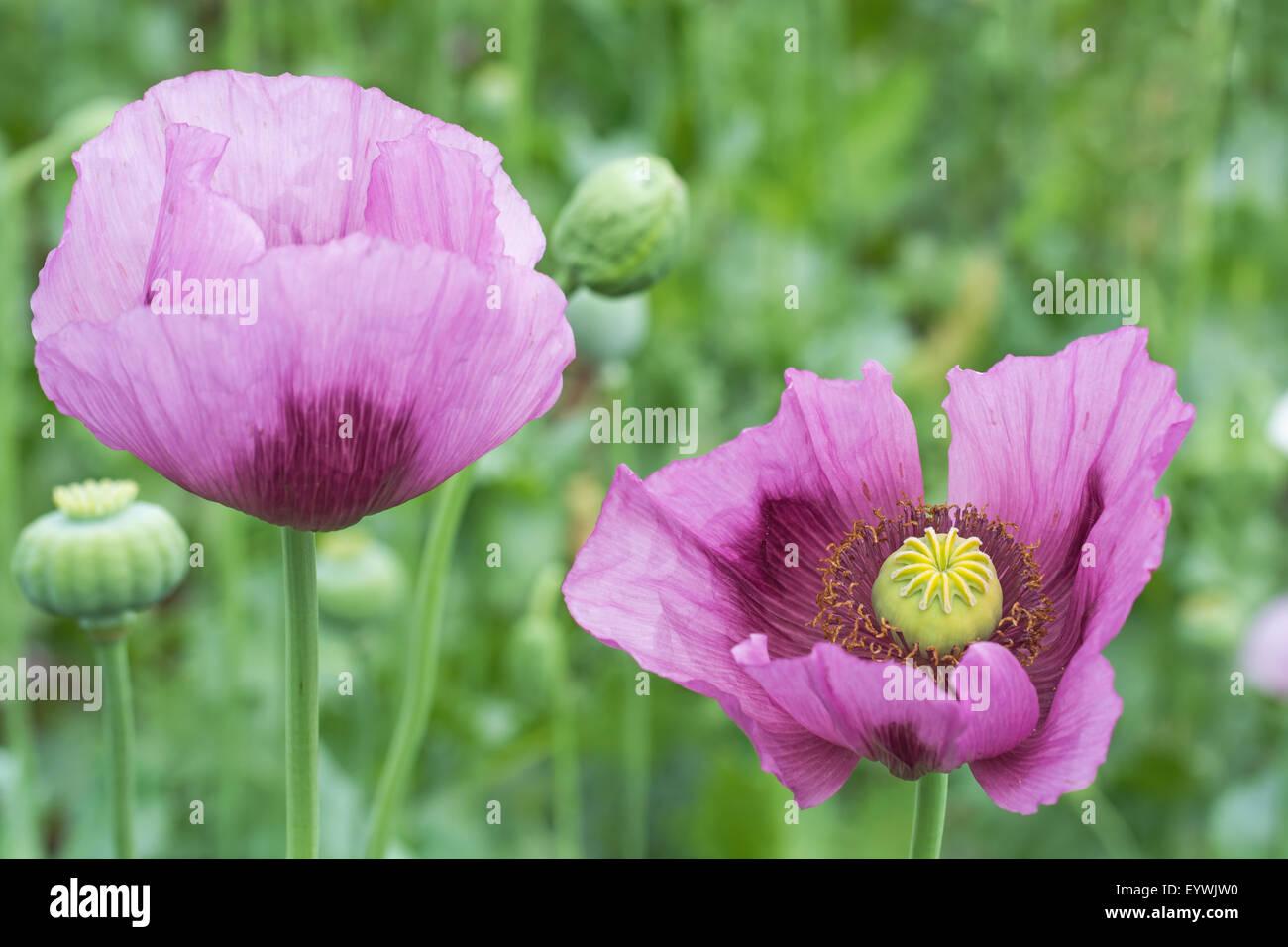 Close up of opium poppy papaver somniferum flower on the field close up of opium poppy papaver somniferum flower on the field mightylinksfo