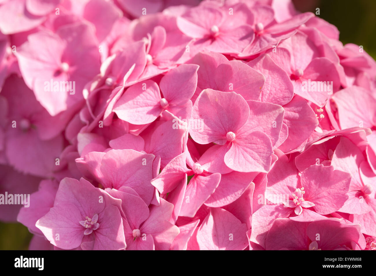 Vivid Rich Candy Pink Color Of Globe Flowers Of Hydrangea Seemingly
