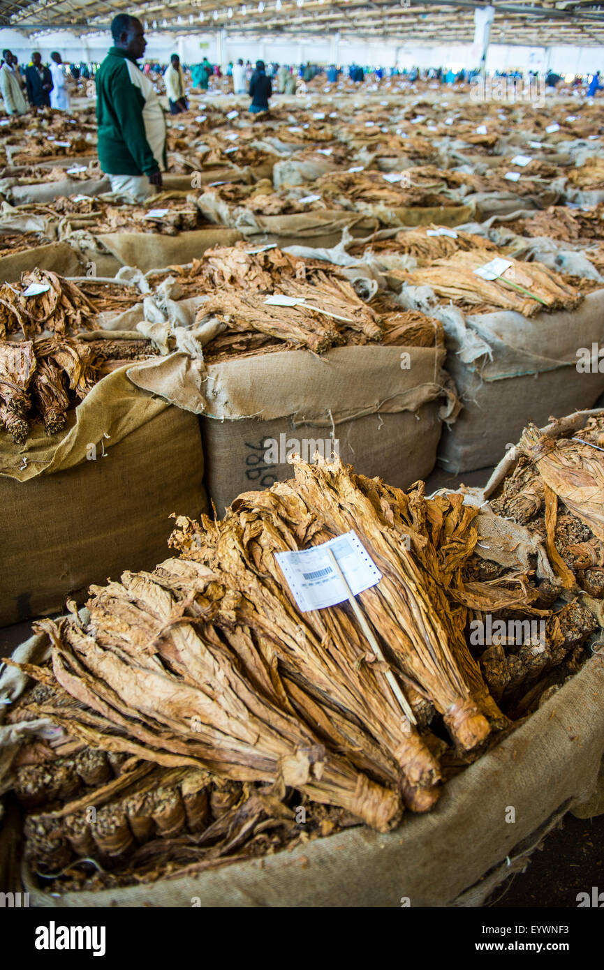 Tobacco auction in Lilongwe, Malawi, Africa - Stock Image