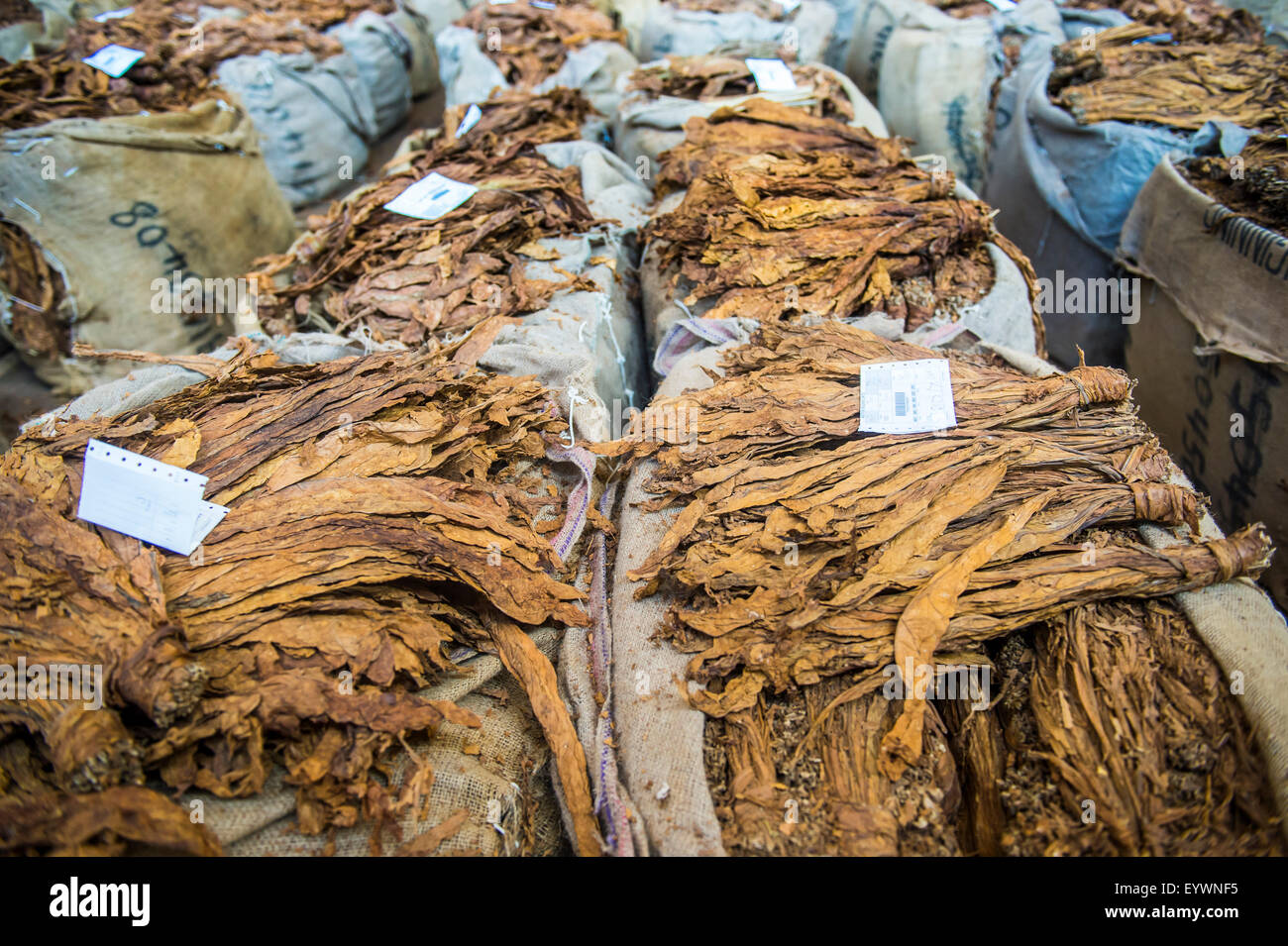 Piles of dry tobacco, Tobacco auction in Lilongwe, Malawi, Africa - Stock Image