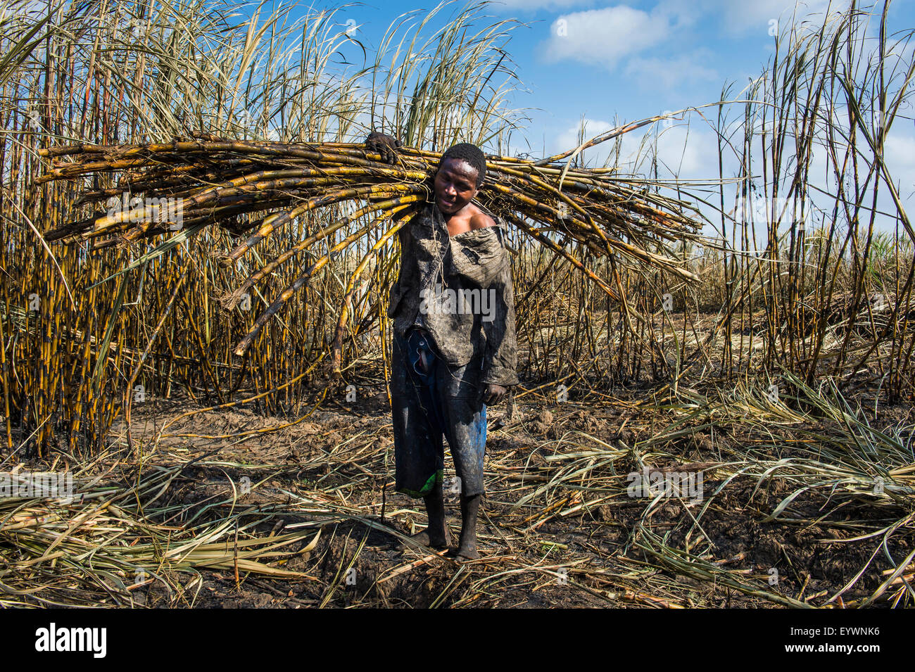 Sugar cane cutter in the burned sugar cane fields, Nchalo, Malawi, Africa - Stock Image