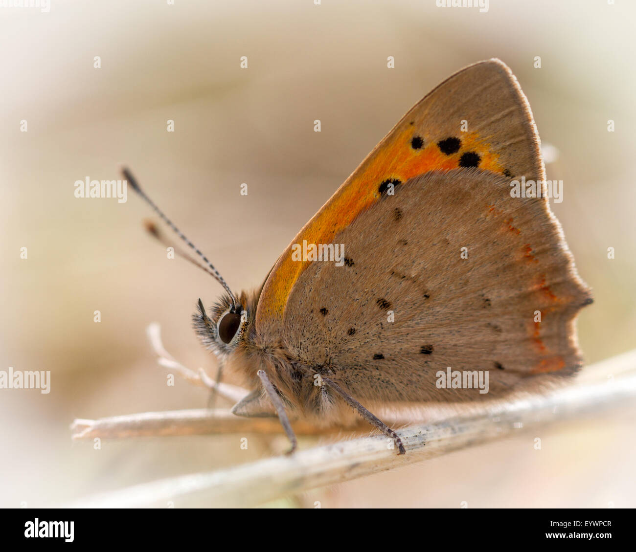 Small copper butterfly (lycaena phlaeas), yorkshire, UK - Stock Image
