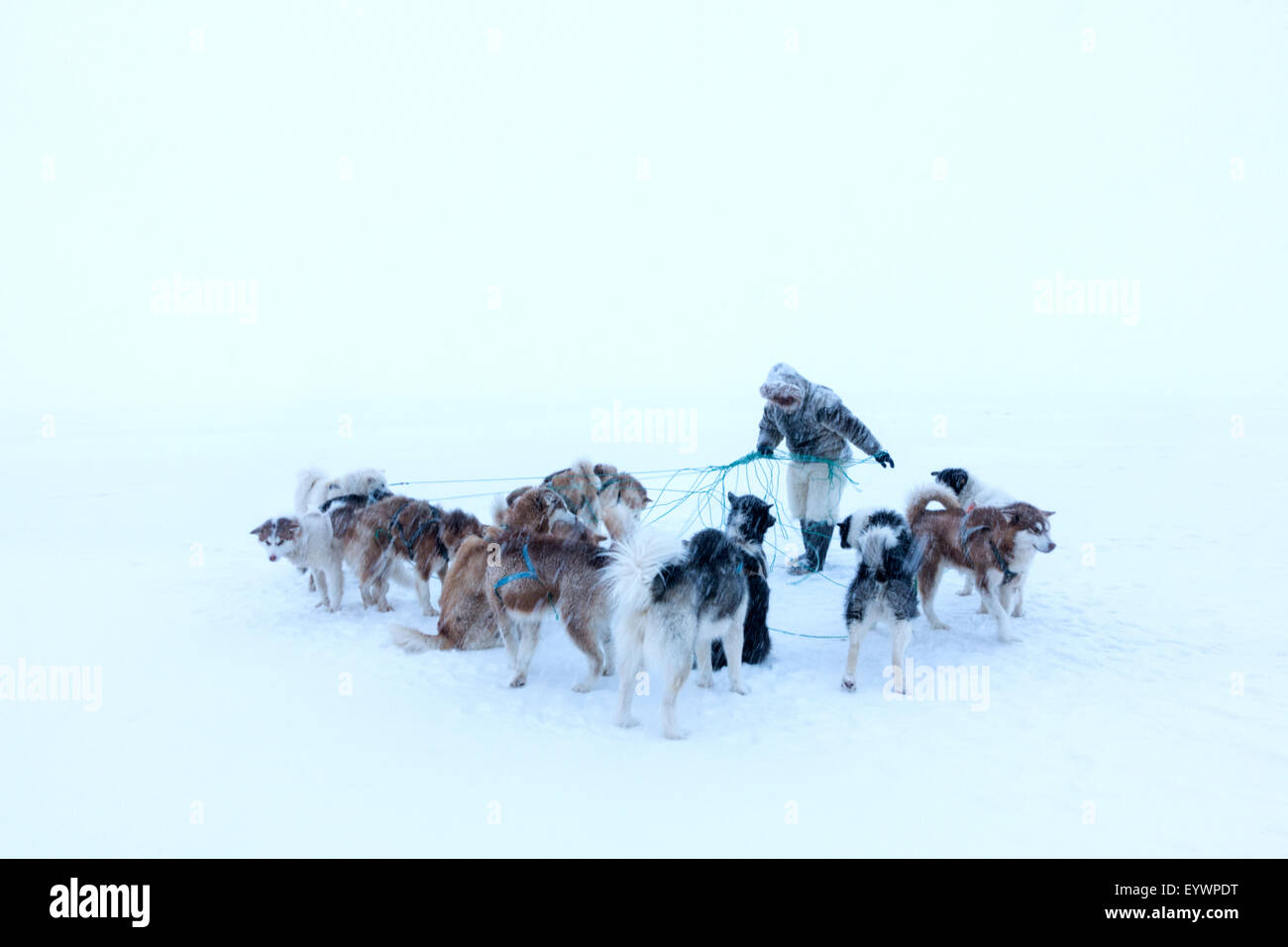 Inuit hunter untangling the lines on his dog team on the sea ice in a snow storm, Greenland, Denmark, Polar Regions - Stock Image