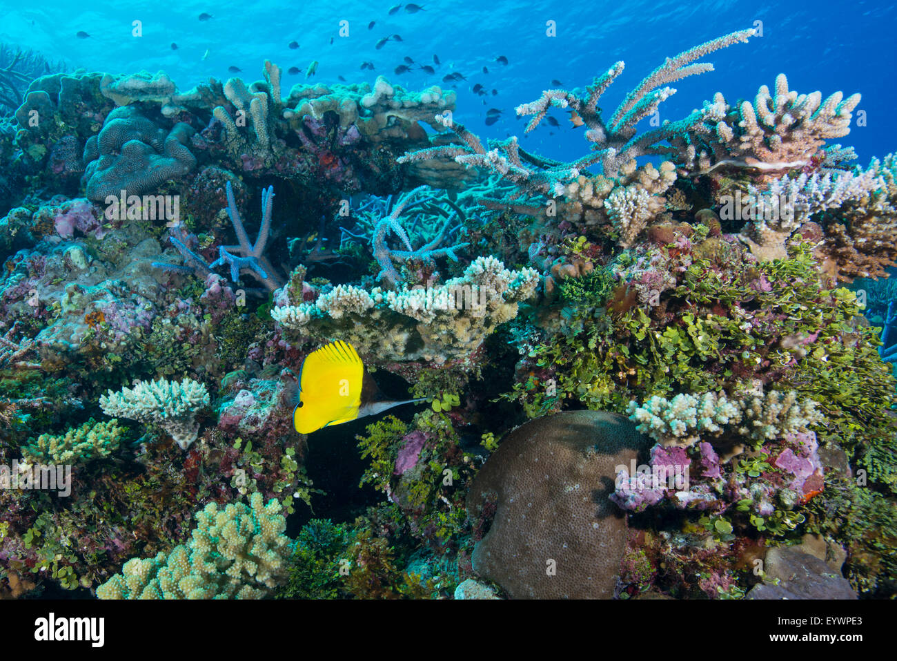 Colourful healthy hard and soft coral reef with long nosed butterflyfish, Matangi Island, Vanua Levu, Fiji, Pacific - Stock Image