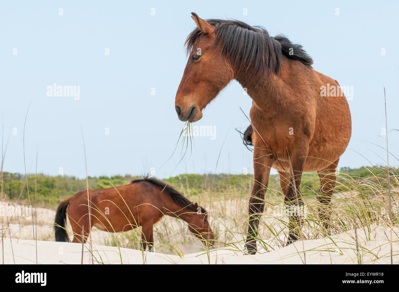 Wild mustangs (Equus ferus caballus), Currituck National Wildlife Refuge, Corolla, Outer Banks, North Carolina, - Stock Image