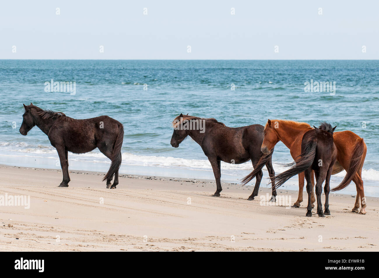 Wild Mustangs Stock Photos Amp Wild Mustangs Stock Images