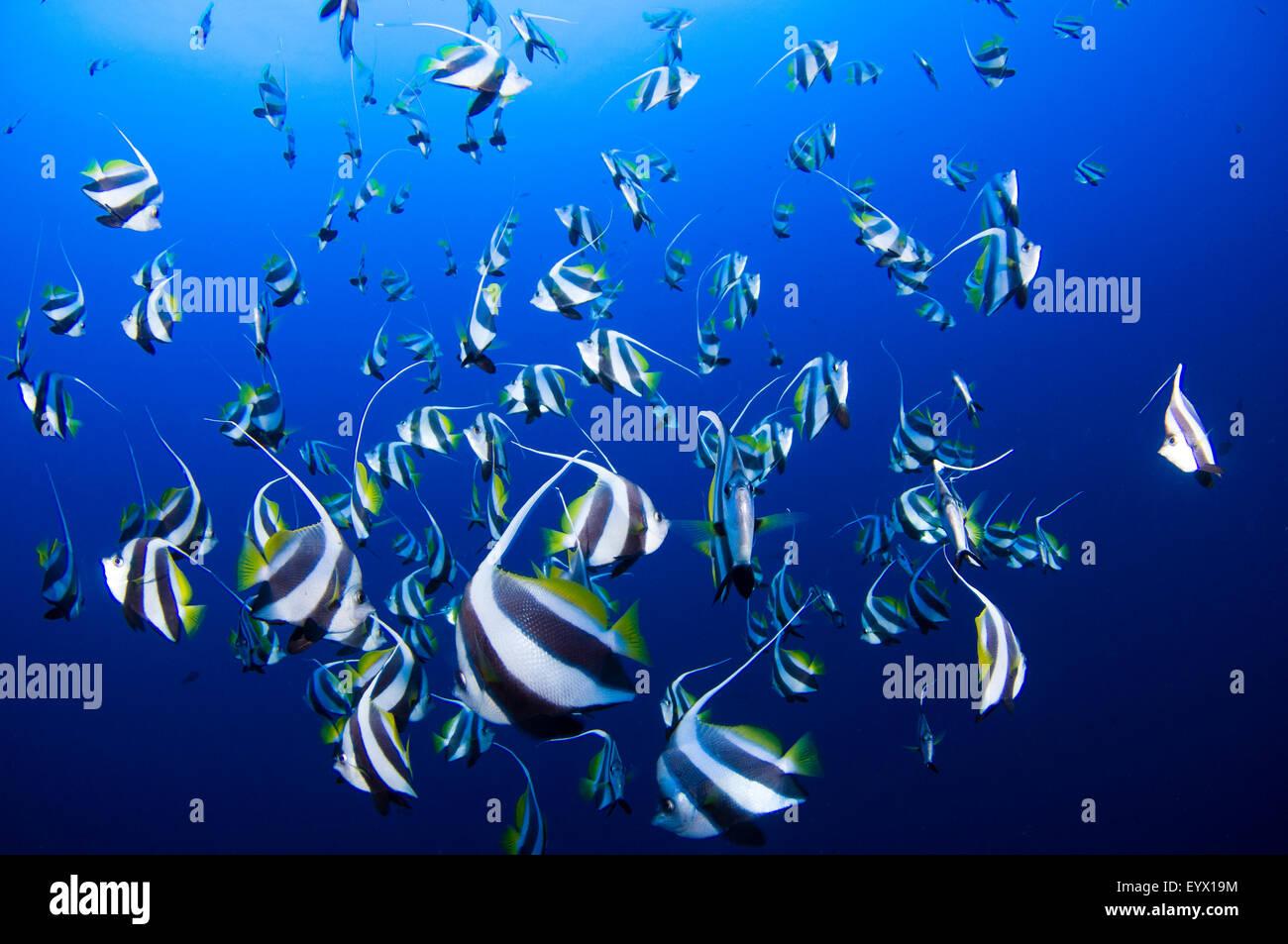 A school of schooling bannerfish, Heniochus diphreutes, Layang Layang, South China Sea, Sabah Province, Borneo Island, - Stock Image