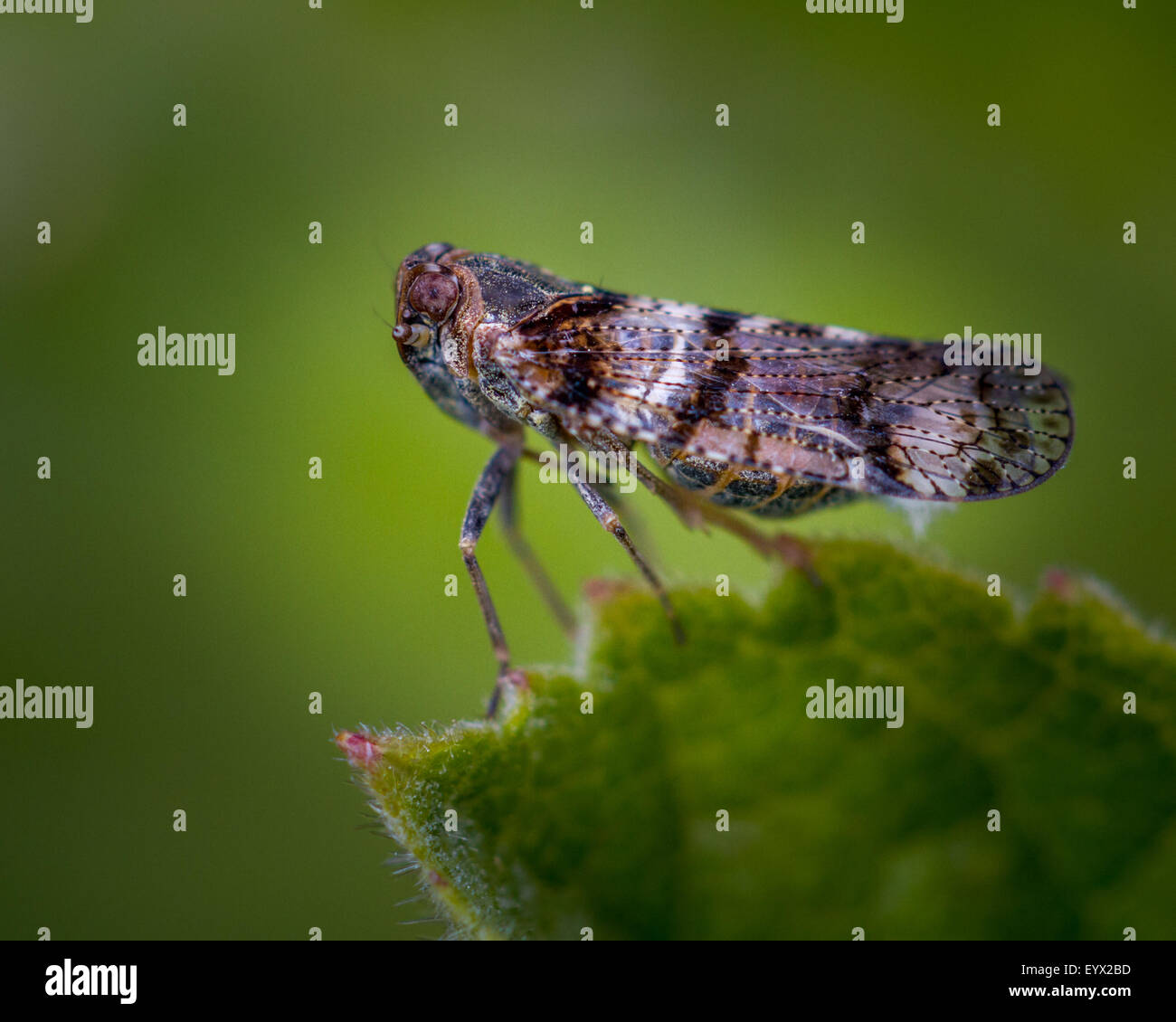 Cixius nervosus from the family Cixiidae or lacehoppers (c.6mm long) - Stock Image