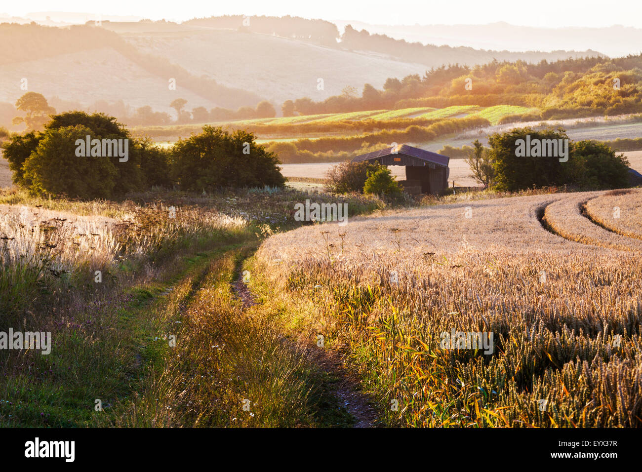 View over wheat field and barn from the Ridgeway in Wiltshire. - Stock Image