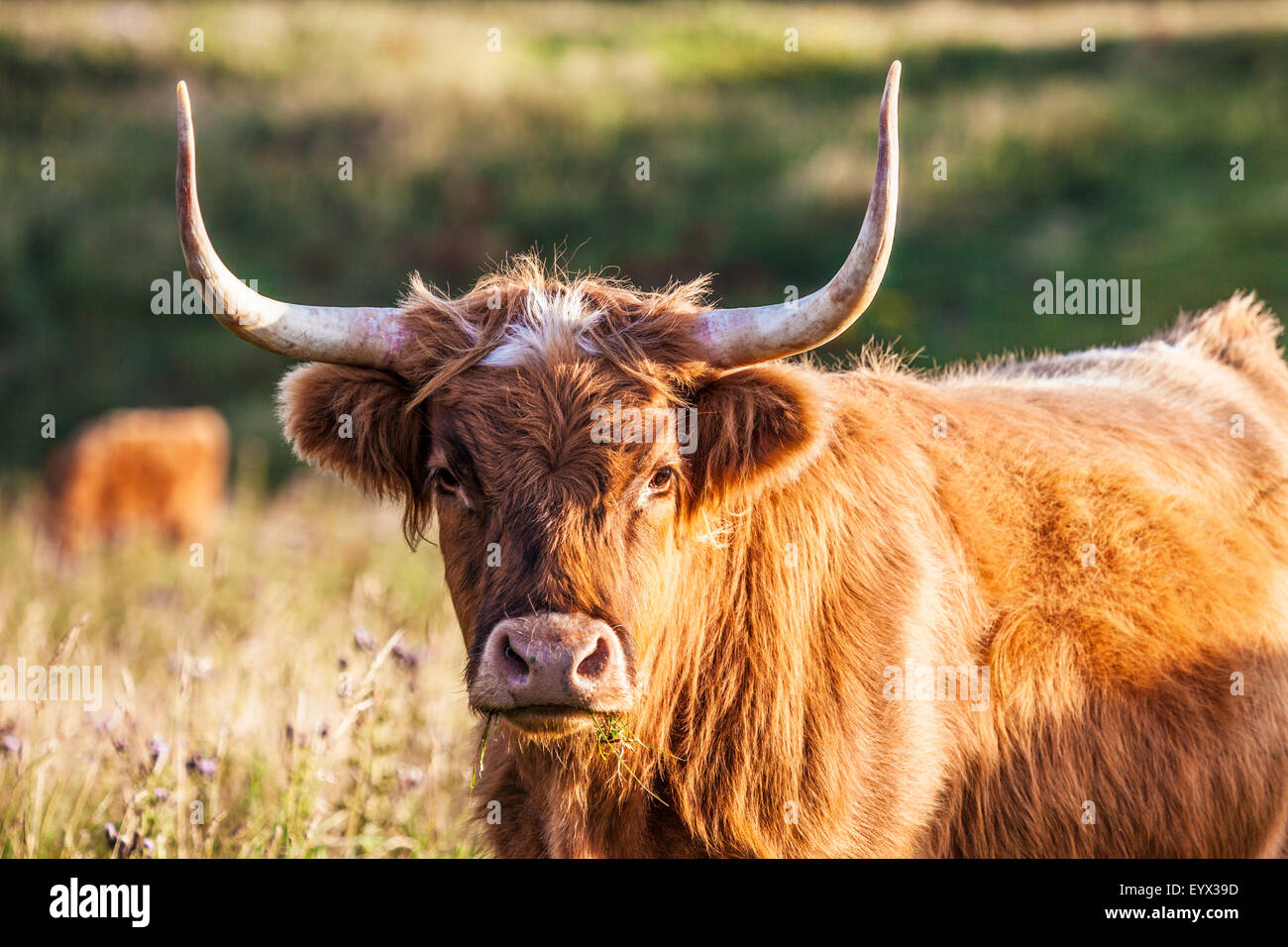 Portrait of a Highland cow, Bos taurus, along the Ridgeway in Wiltshire. - Stock Image