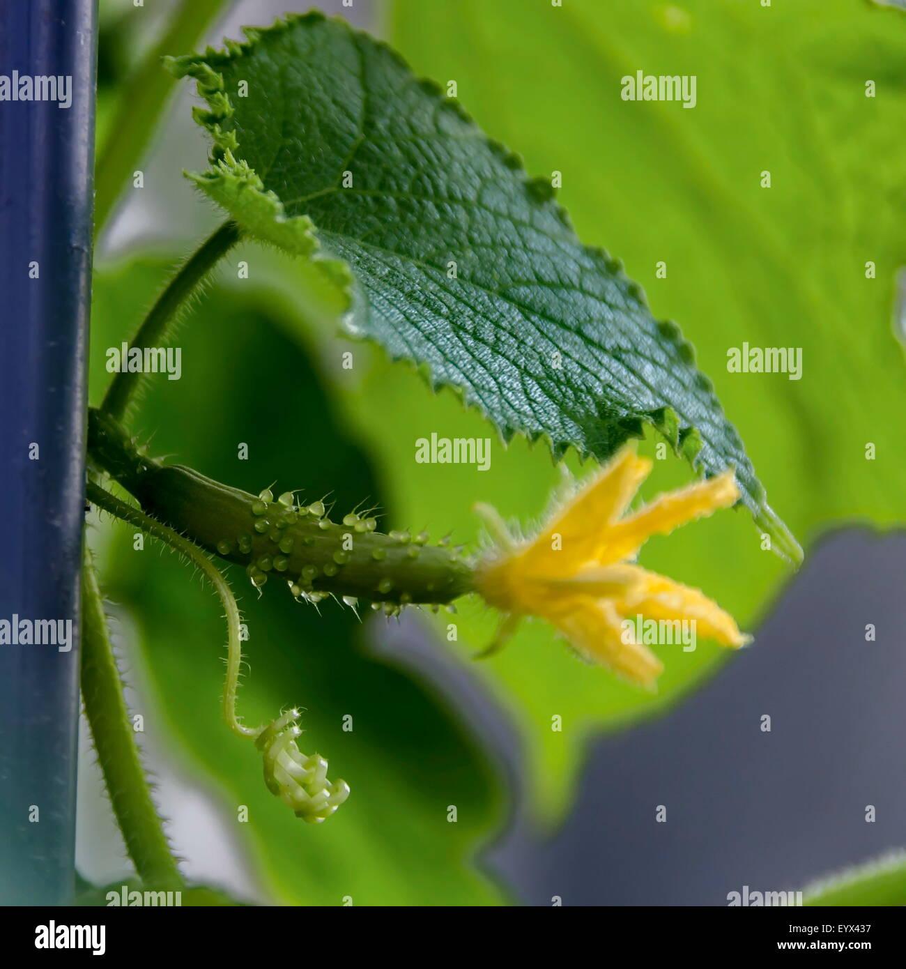 Just germ of cucumber in balcony garden - Stock Image