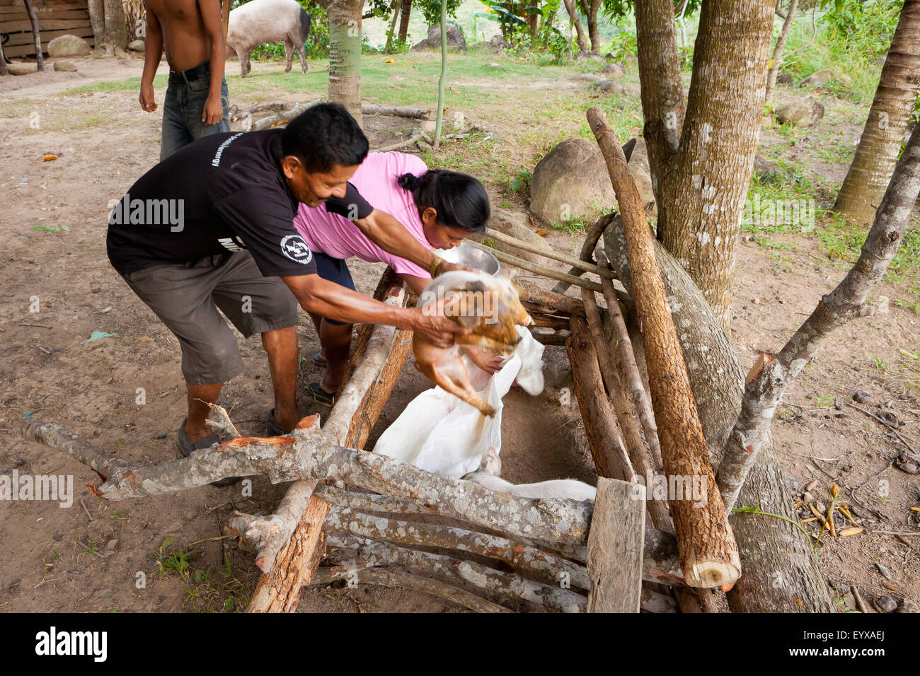 Cleofer Martinez, 54, is holding two of the family's young pigs, in the interior of the Coclé province, - Stock Image