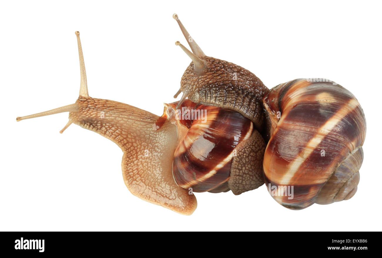 Two Slugs Isolated On White Background - Stock Image
