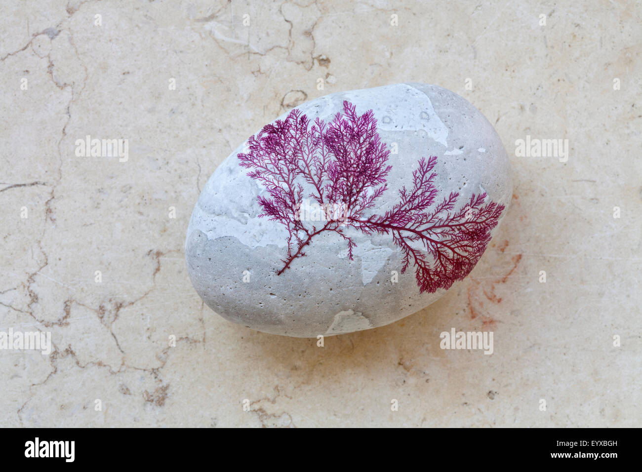 Still Pictures Are All Very Fine And >> Very Fine Rhodophyta Seaweed Attached To A Pale Coloured Rounded