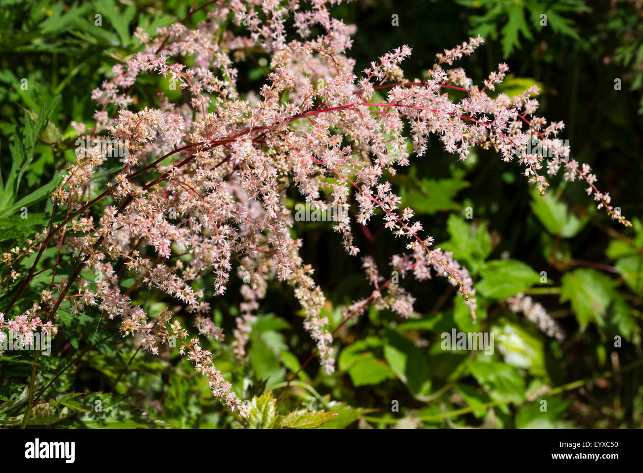 White astilbe flowers flowering stock photos white astilbe flowers white pink feathery flowers of the recently introduced moisture loving perennial astilbe mightylinksfo