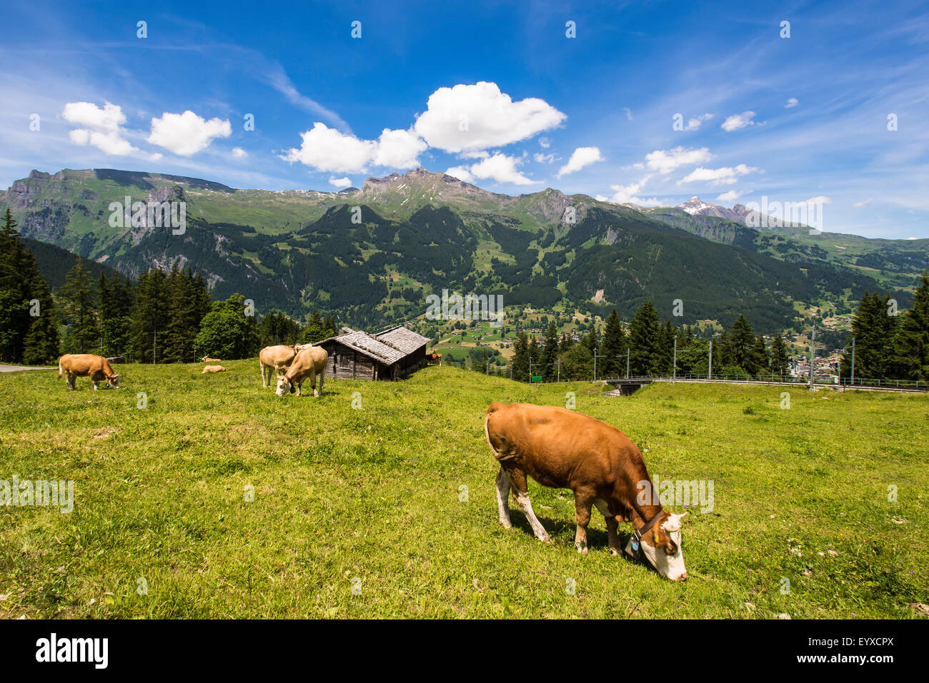 Swiss cows up in the alps - Stock Image
