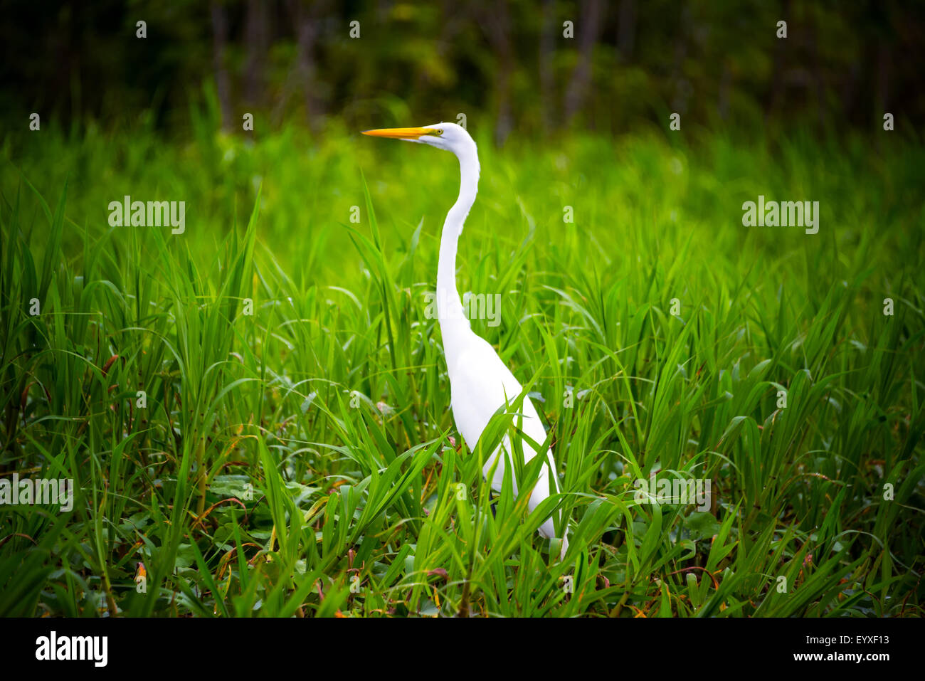 Great White Heron in lush green grass in the Amazon rain forest near Iquitos, Peru - Stock Image