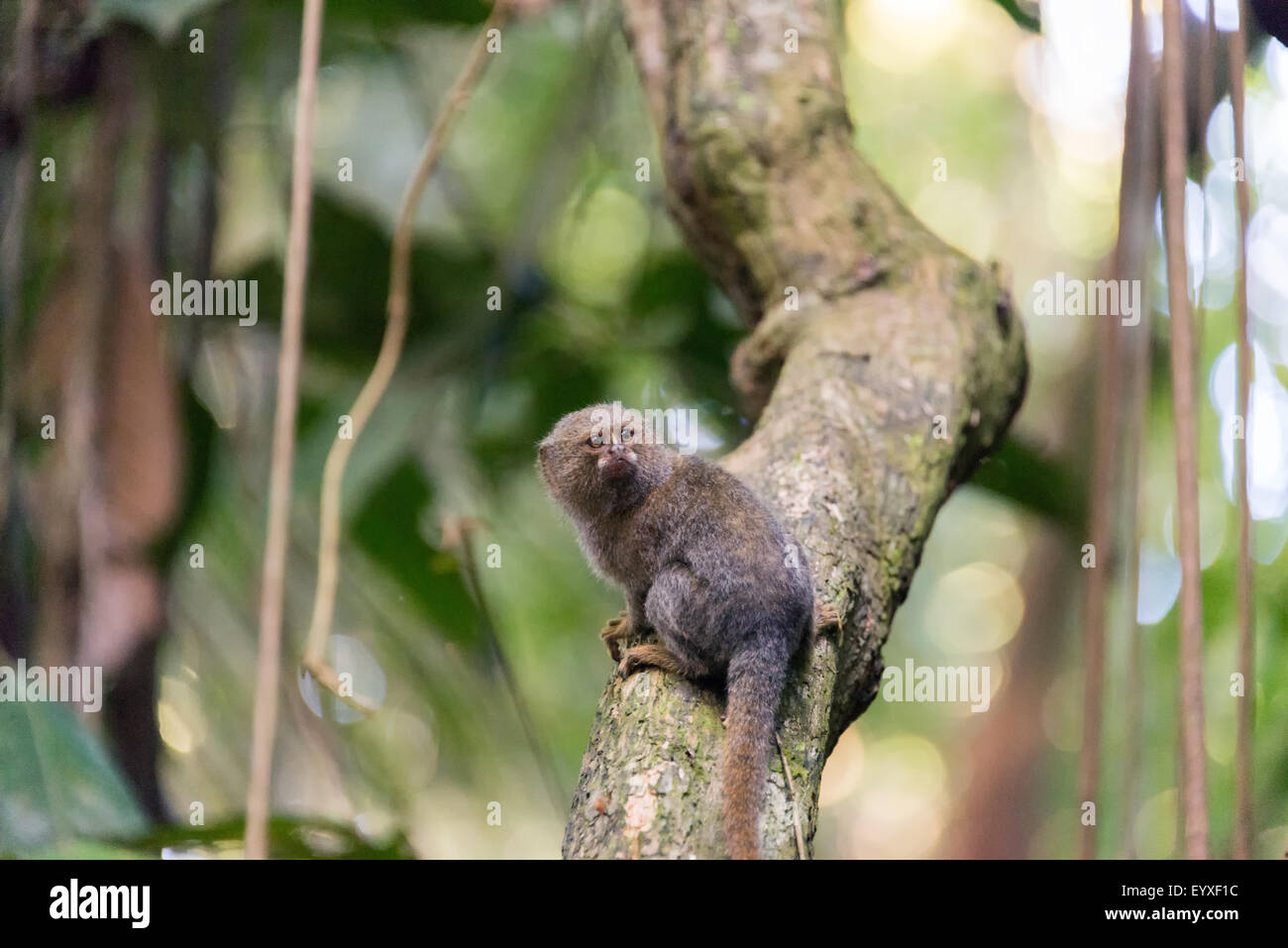 Pygmy monkey, the smallest monkey in the world, in the Amazon rain forest near Iquitos, Peru - Stock Image