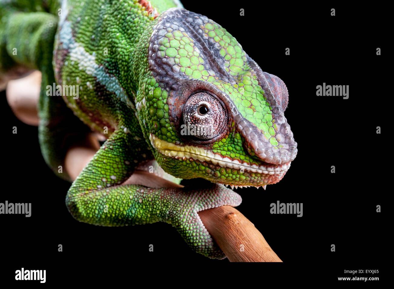 Panther Chameleon, Furcifer pardalis - Stock Image
