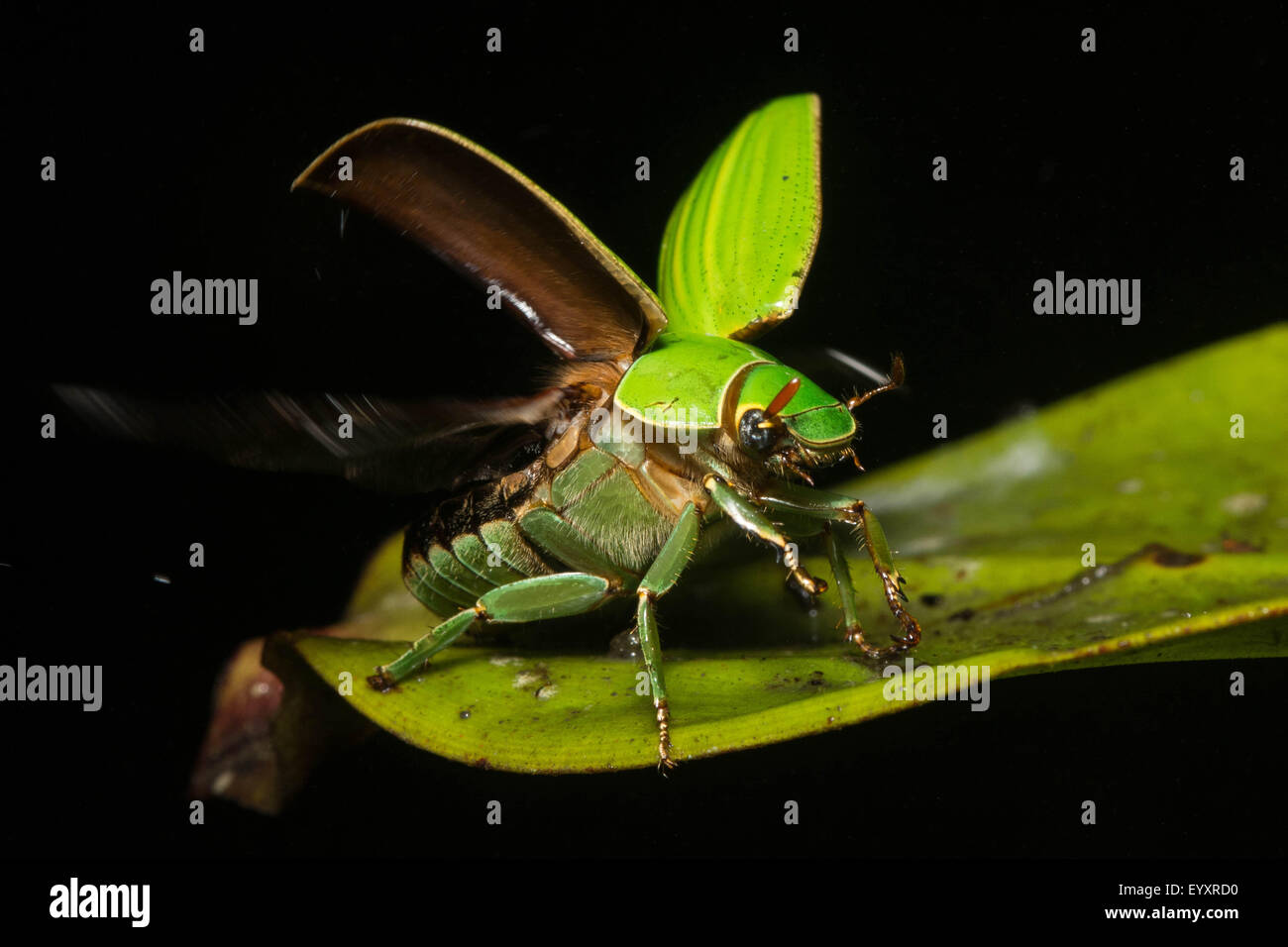 A jewel Scarab (Chrysina sp.) prepares to fly in the mountains of Ecuador. - Stock Image