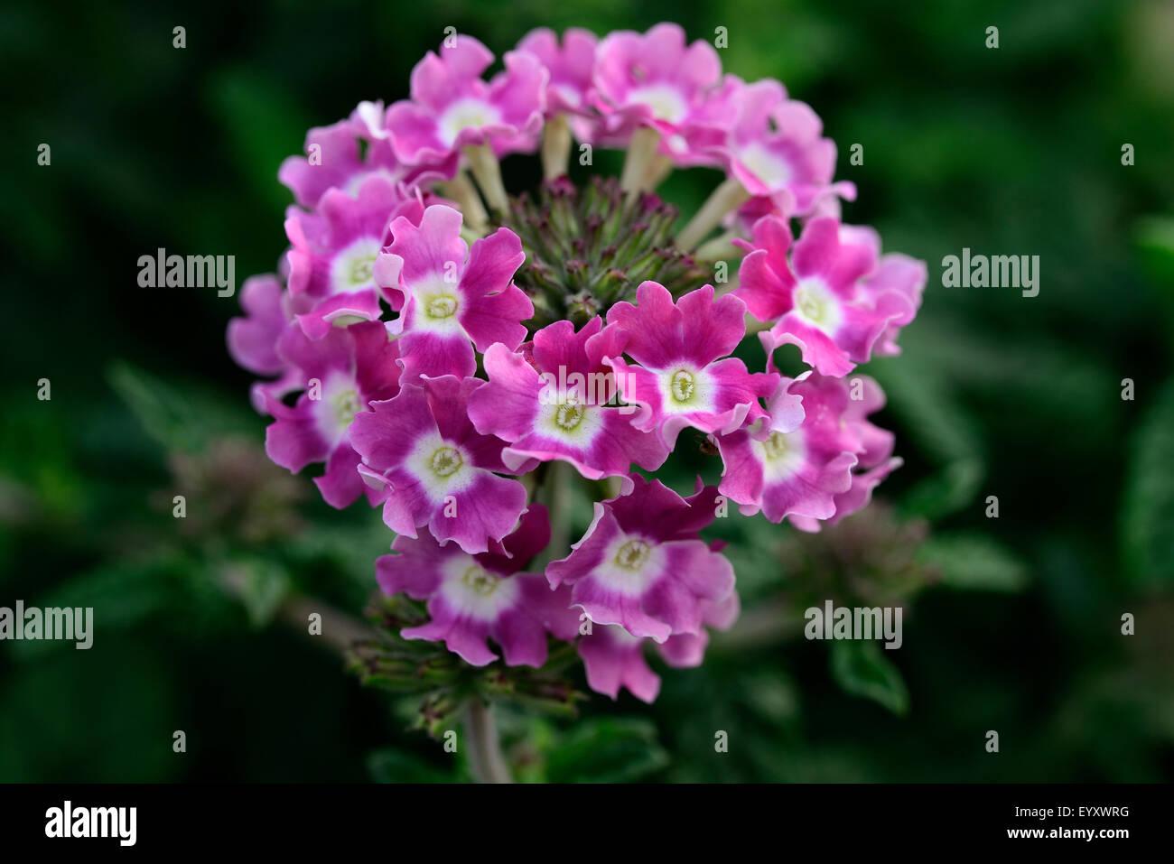 Creeping Lantana Stock Photos Creeping Lantana Stock Images Alamy