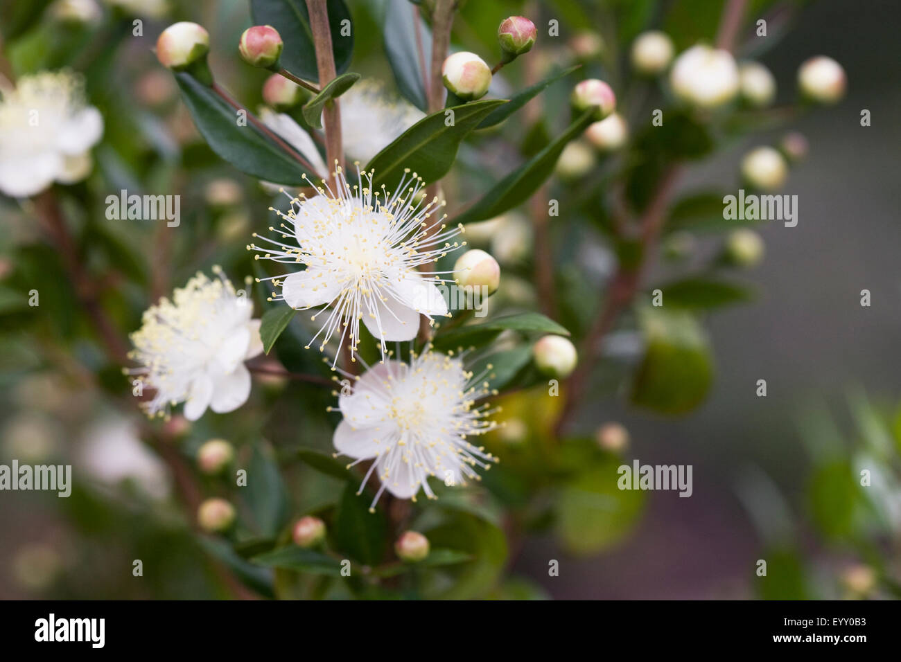 Myrtus Communis High Resolution Stock Photography And Images Alamy