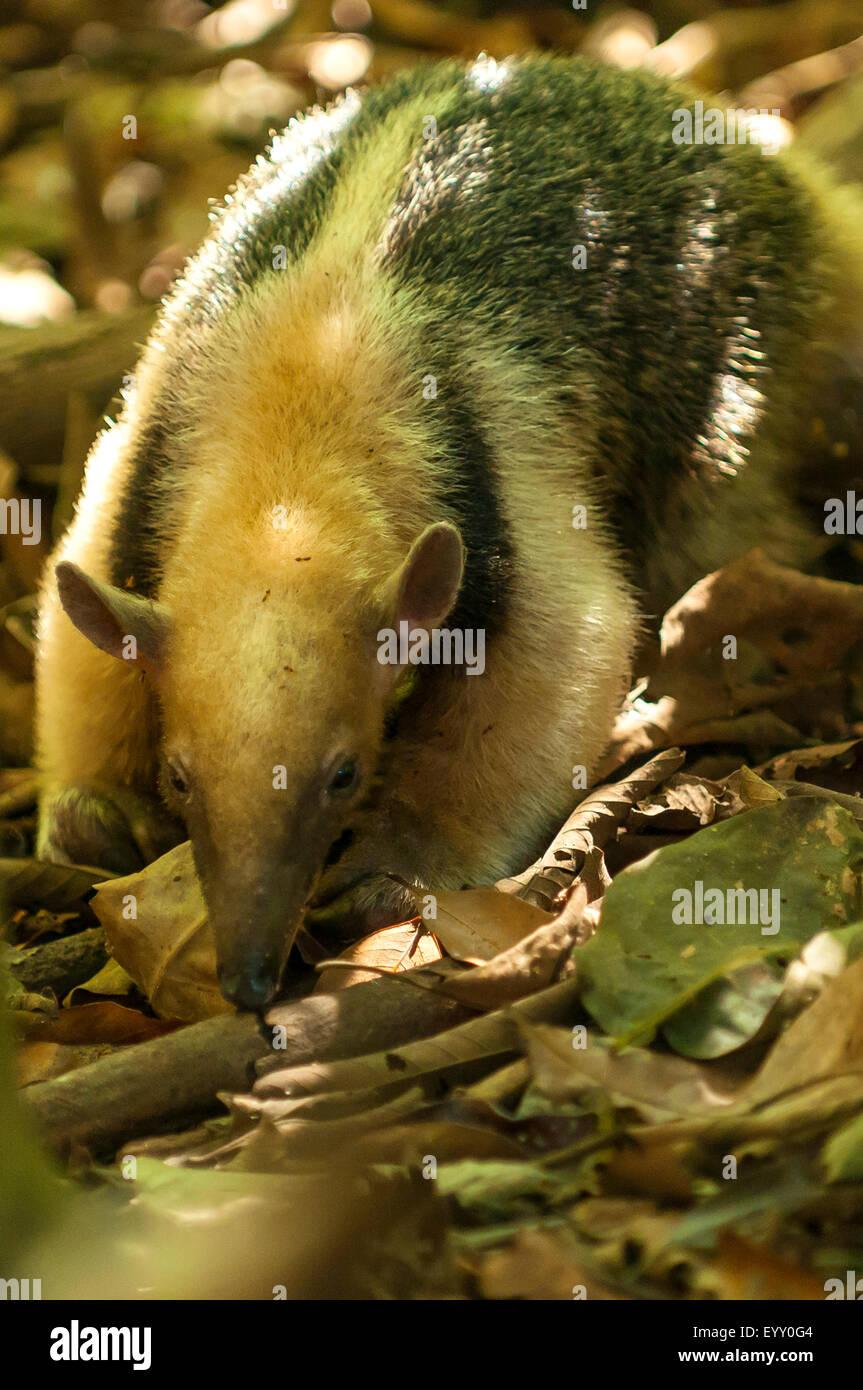 Tamandua tetradactyla, Collared Anteater, Araras Lodge, Pantanal, Brazil - Stock Image