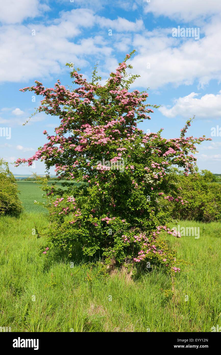 Common Hawthorn (Crataegus monogyna) with pink flowers, Thuringia, Germany - Stock Image