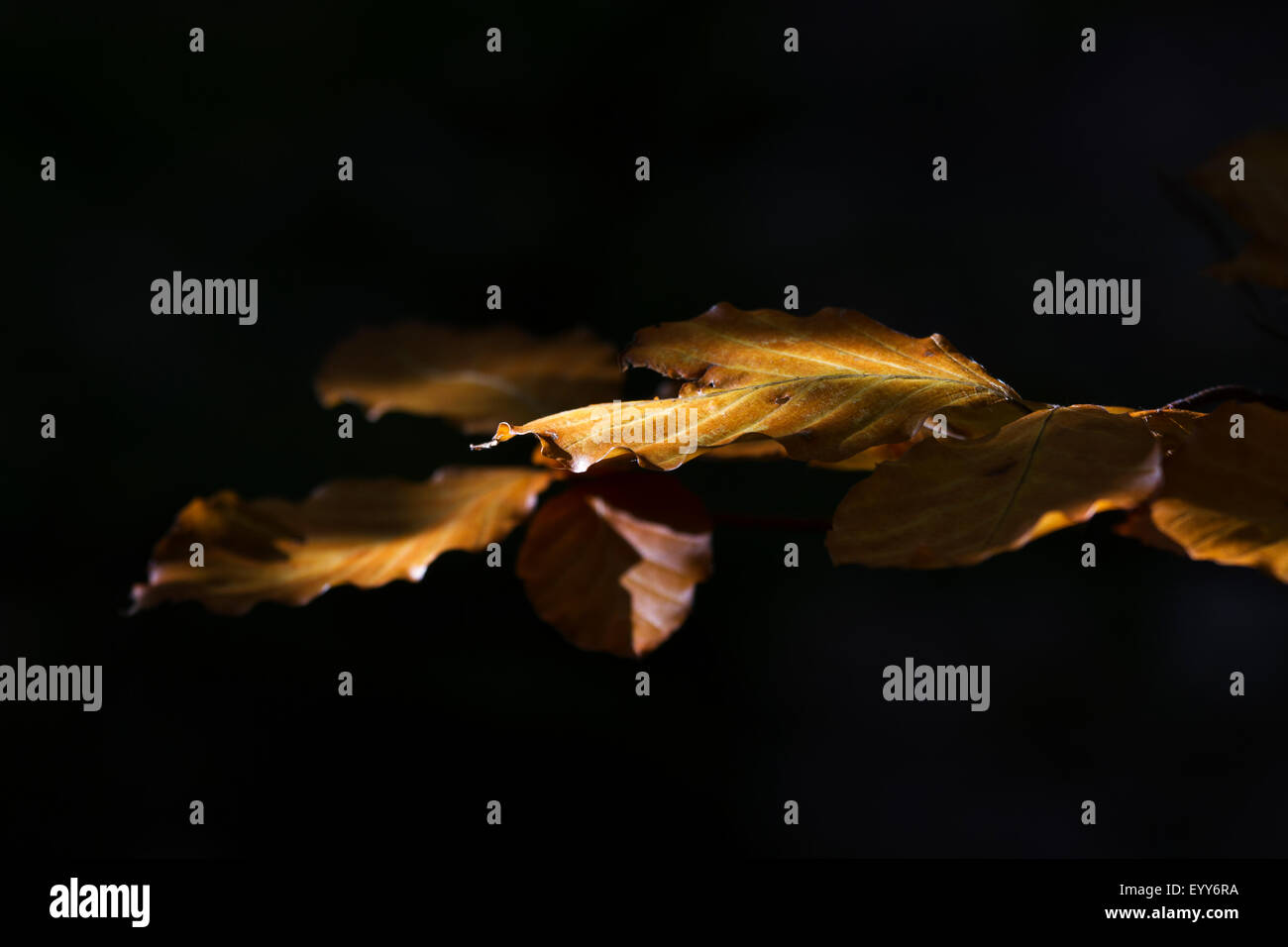 Beech leaves - Stock Image