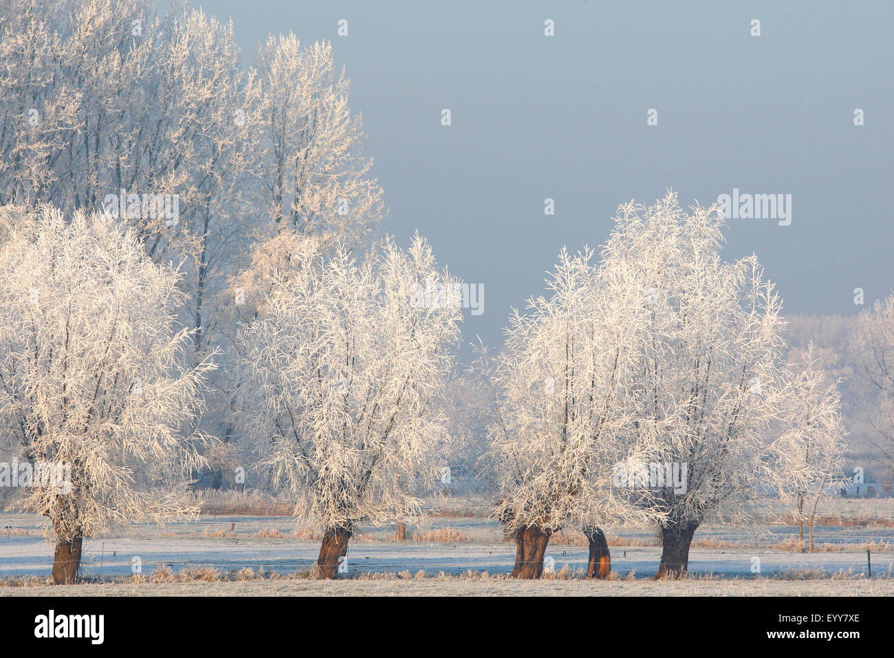 willow, osier (Salix spec.), pollard willows covered by hoarfrost, Belgium - Stock Image