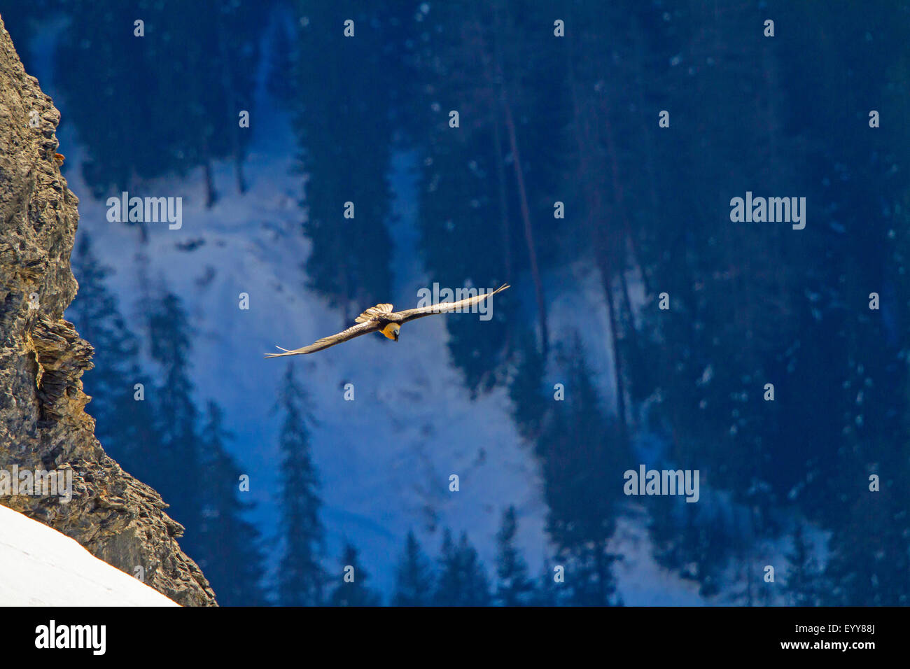 Lammergeier, Bearded Vulture (Gypaetus barbatus), bearded vulture in flight before a mountain forest, Switzerland, - Stock Image