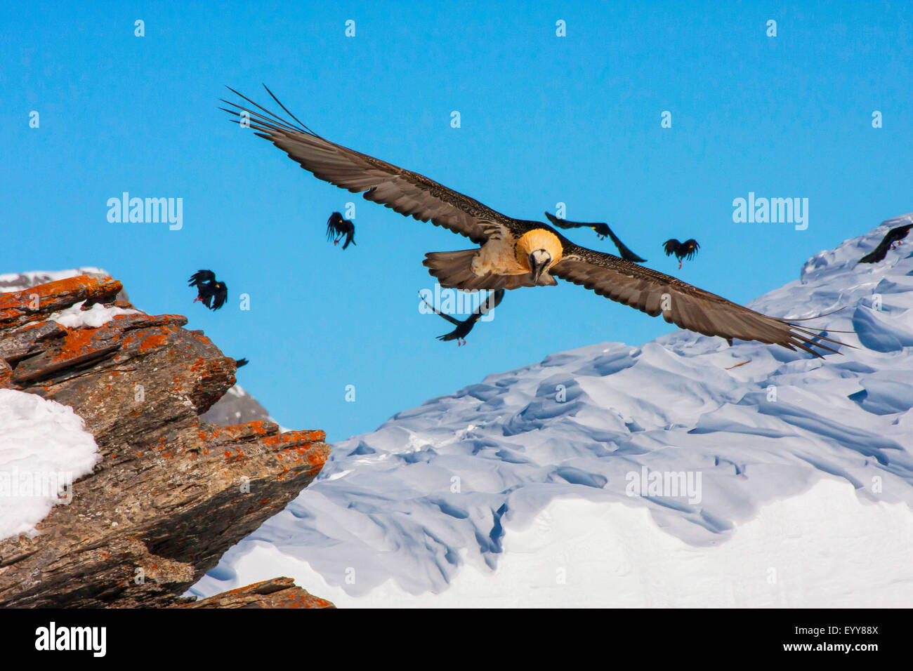 Lammergeier, Bearded Vulture (Gypaetus barbatus), bearded vulture in flight with alpine choughs, Switzerland, Valais, - Stock Image