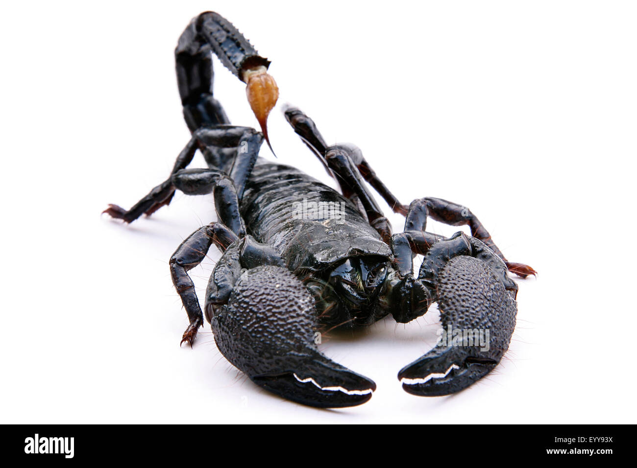Black scorpion (Heterometrus scaber), hackled up scorpion - Stock Image