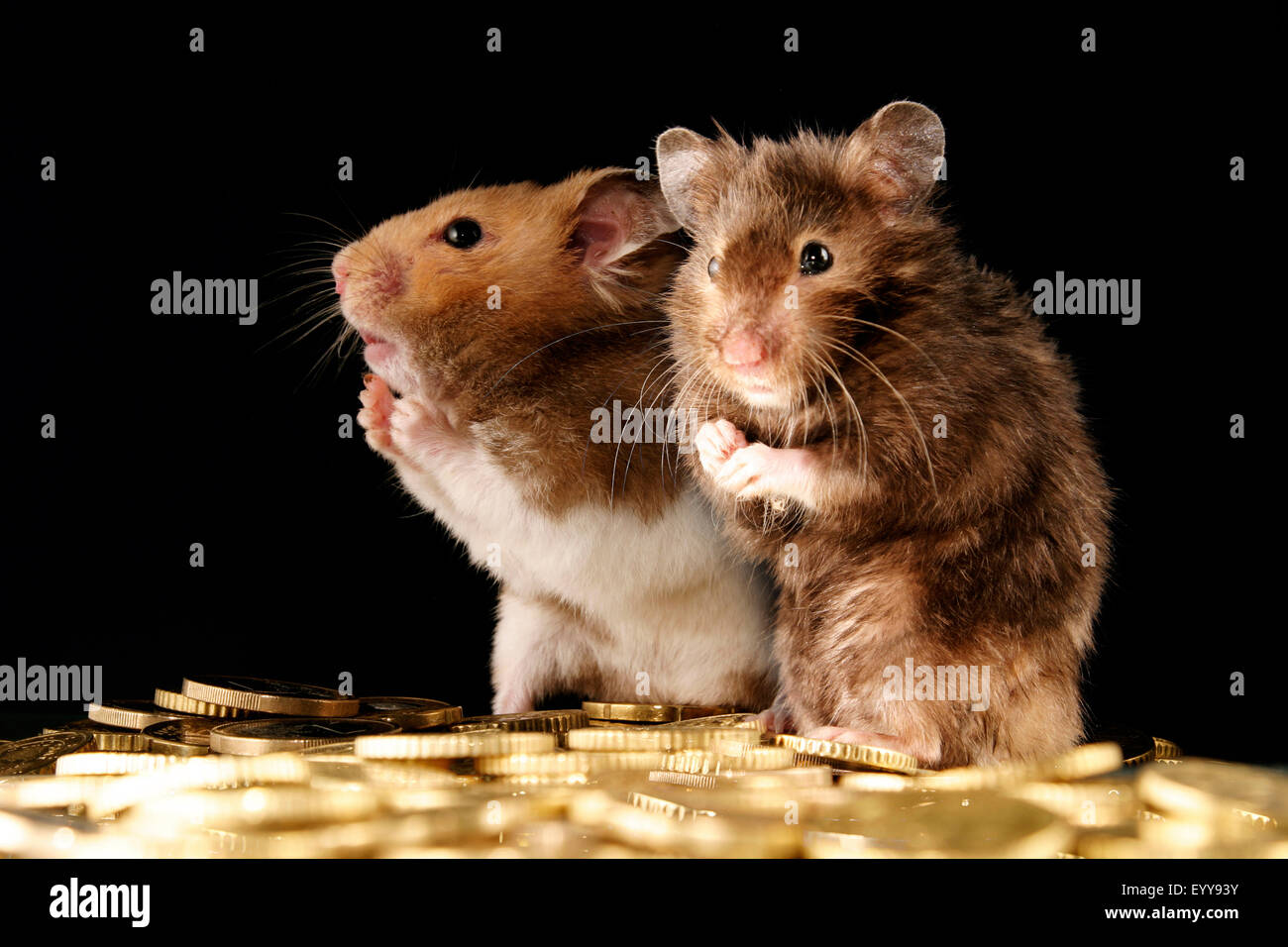 golden hamster (Mesocricetus auratus), two moneyed golden hamsters with Euro coins - Stock Image