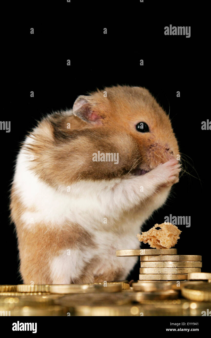 golden hamster (Mesocricetus auratus), golden hamster with Euro coins - Stock Image