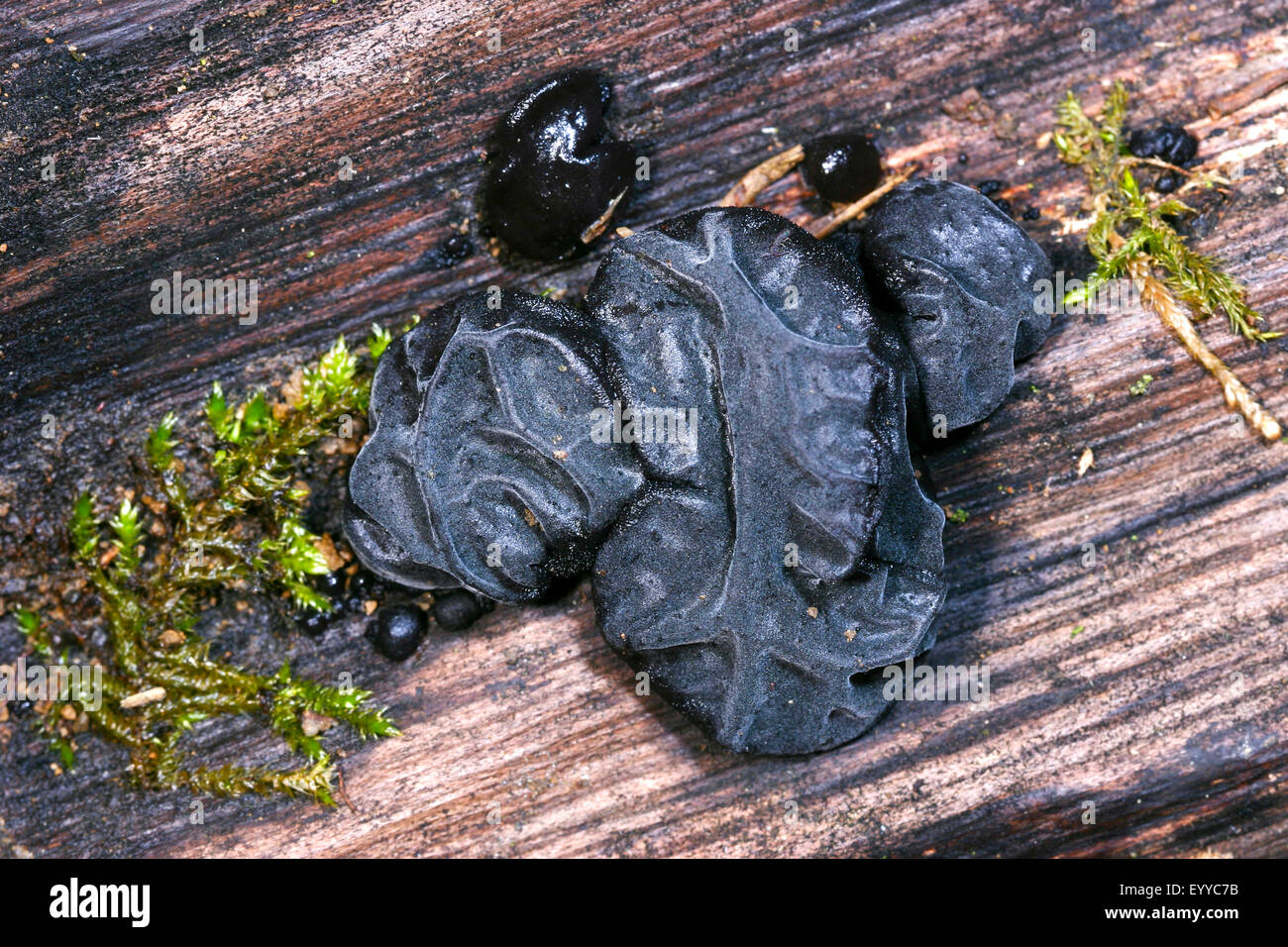Witches' butter, Black witches' butter, Black jelly roll, Warty jelly fungus (Exidia glandulosa, Exidia - Stock Image