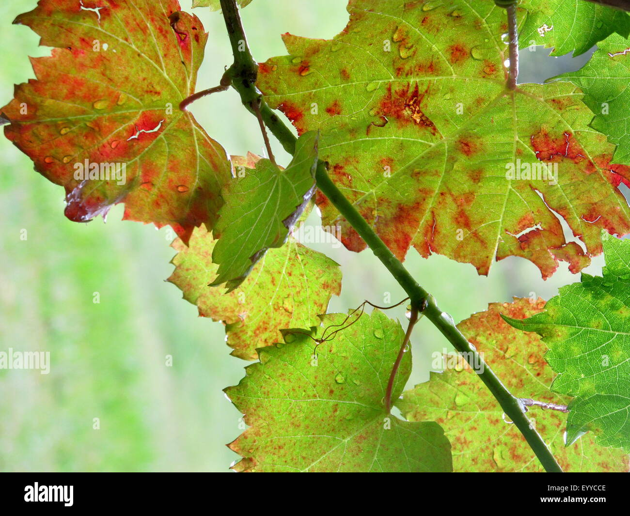 Grape Vine Macro Stock Photo