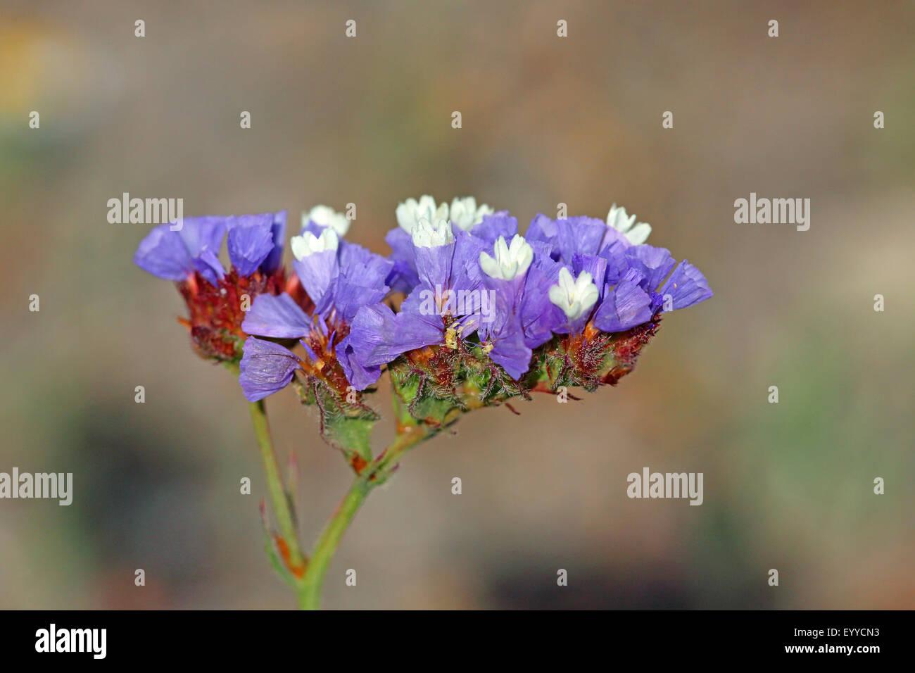 sinuata statice, perennial sea-lavender, winged sea-lavender, wavyleaf sea-lavender (Limonium sinuatum), blossom, - Stock Image