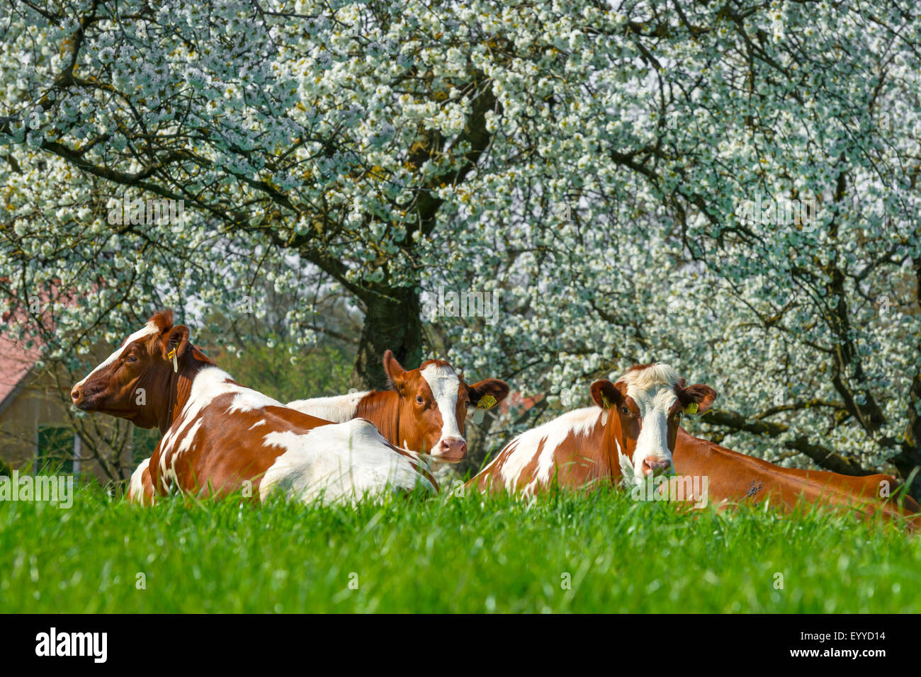 domestic cattle (Bos primigenius f. taurus), cows ruminating on grass before blooming cherry trees, Germany, North Stock Photo