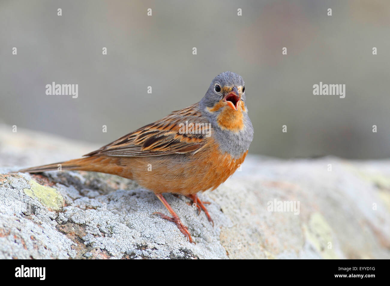 cretzschmar's bunting (Emberiza caesia), male sits on a stone and sings, Greece, Lesbos - Stock Image