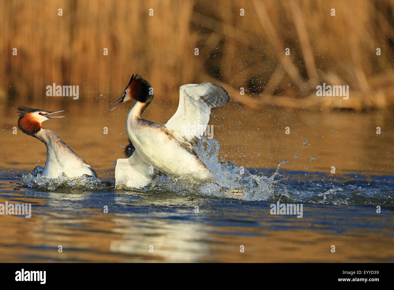 great crested grebe (Podiceps cristatus), territorial fight of two males, Netherlands, Frisia - Stock Image
