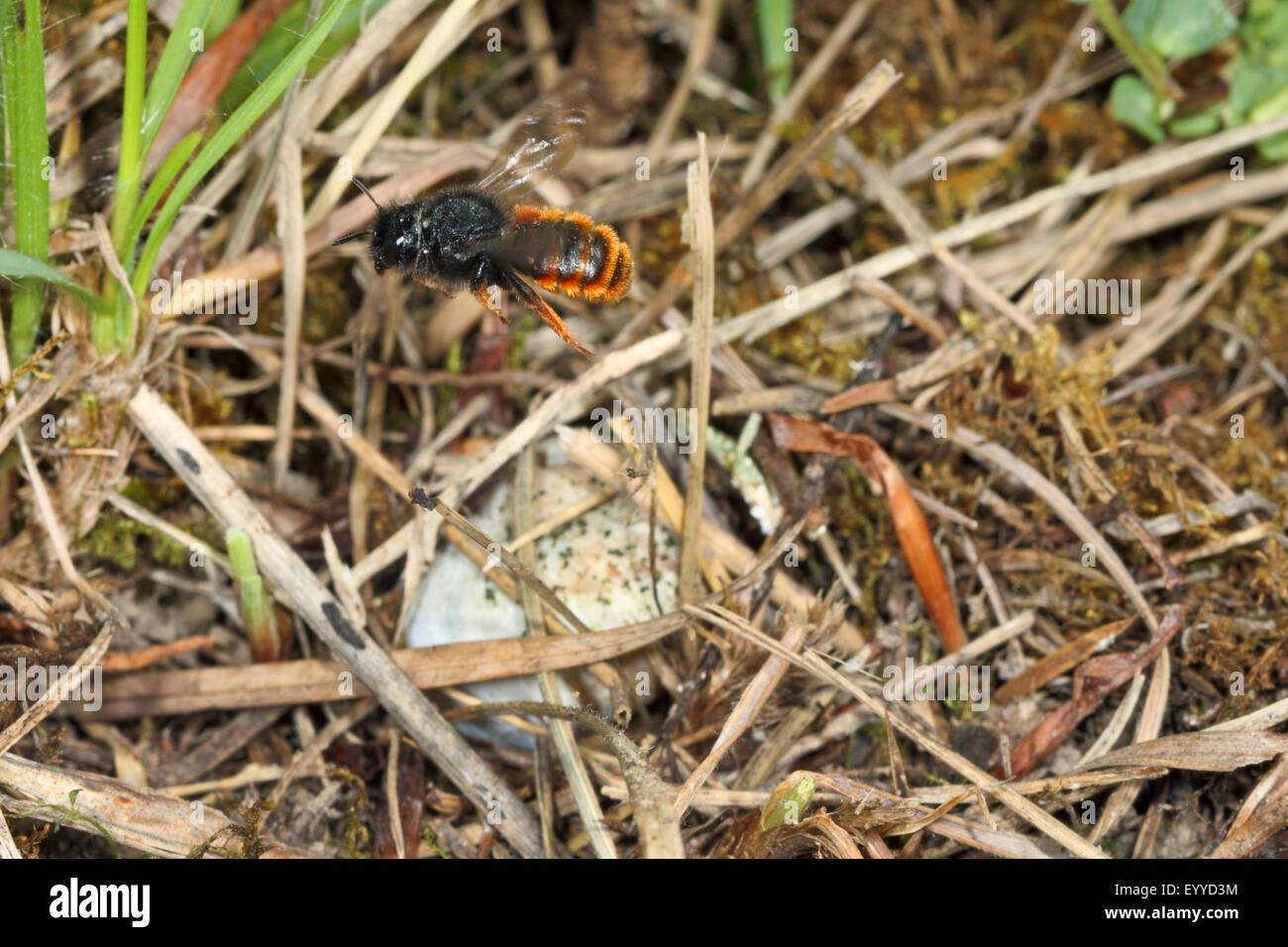 Bicoloured mason bee, Mason bee (Osmia bicolor), flying, Germany Stock Photo
