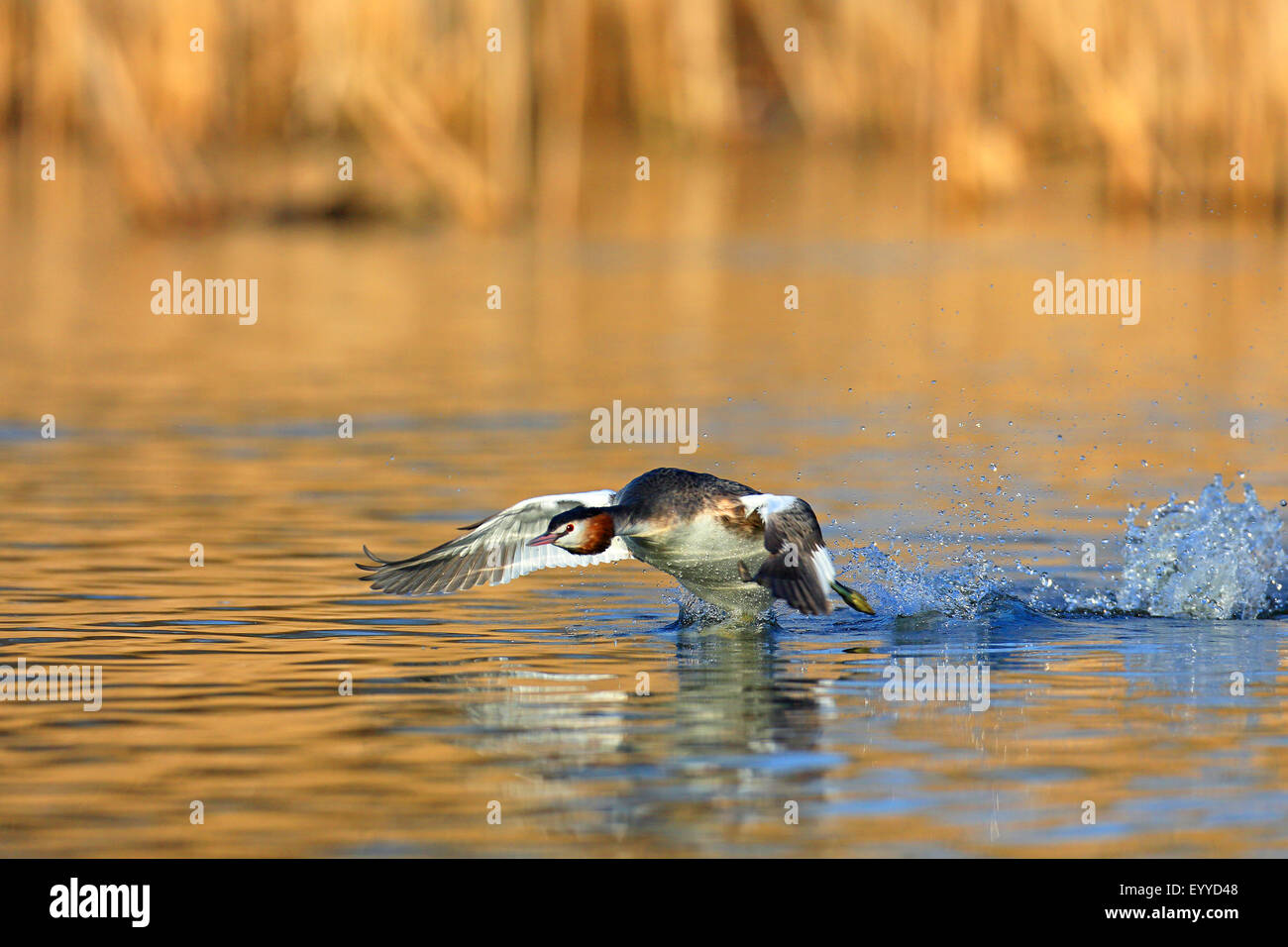 great crested grebe (Podiceps cristatus), flying off from the water, Netherlands, Frisia - Stock Image