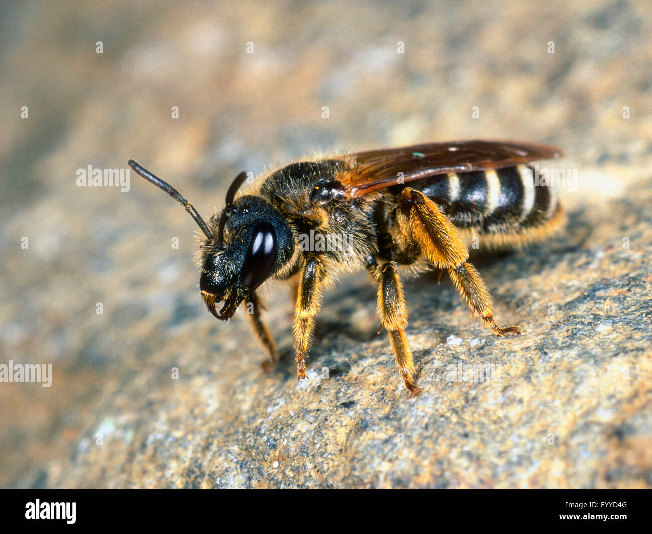 sweat bee (Halictus simplex), female sitting on a stone, Germany - Stock Image