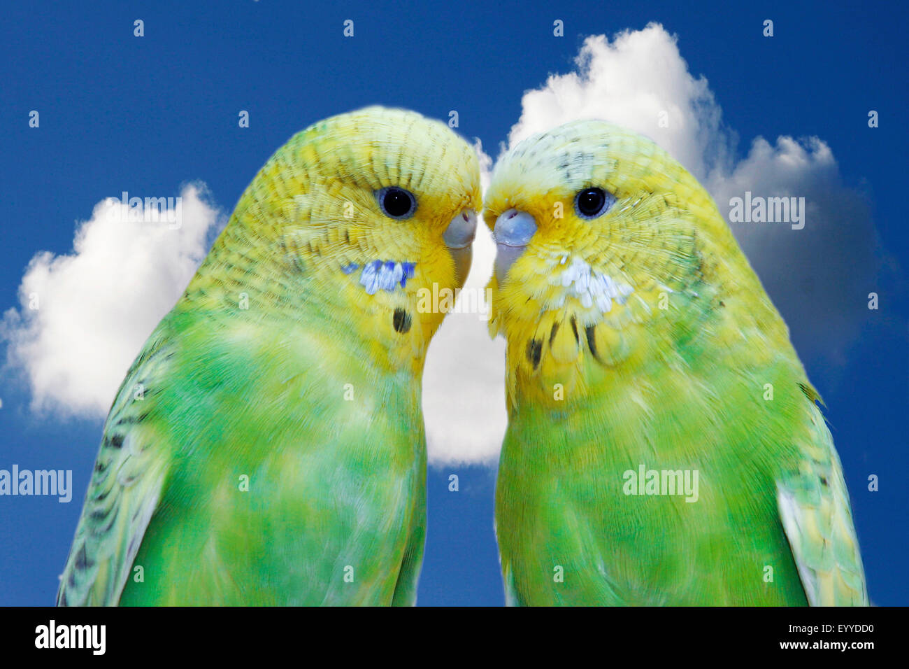 two billing green budgies - Stock Image