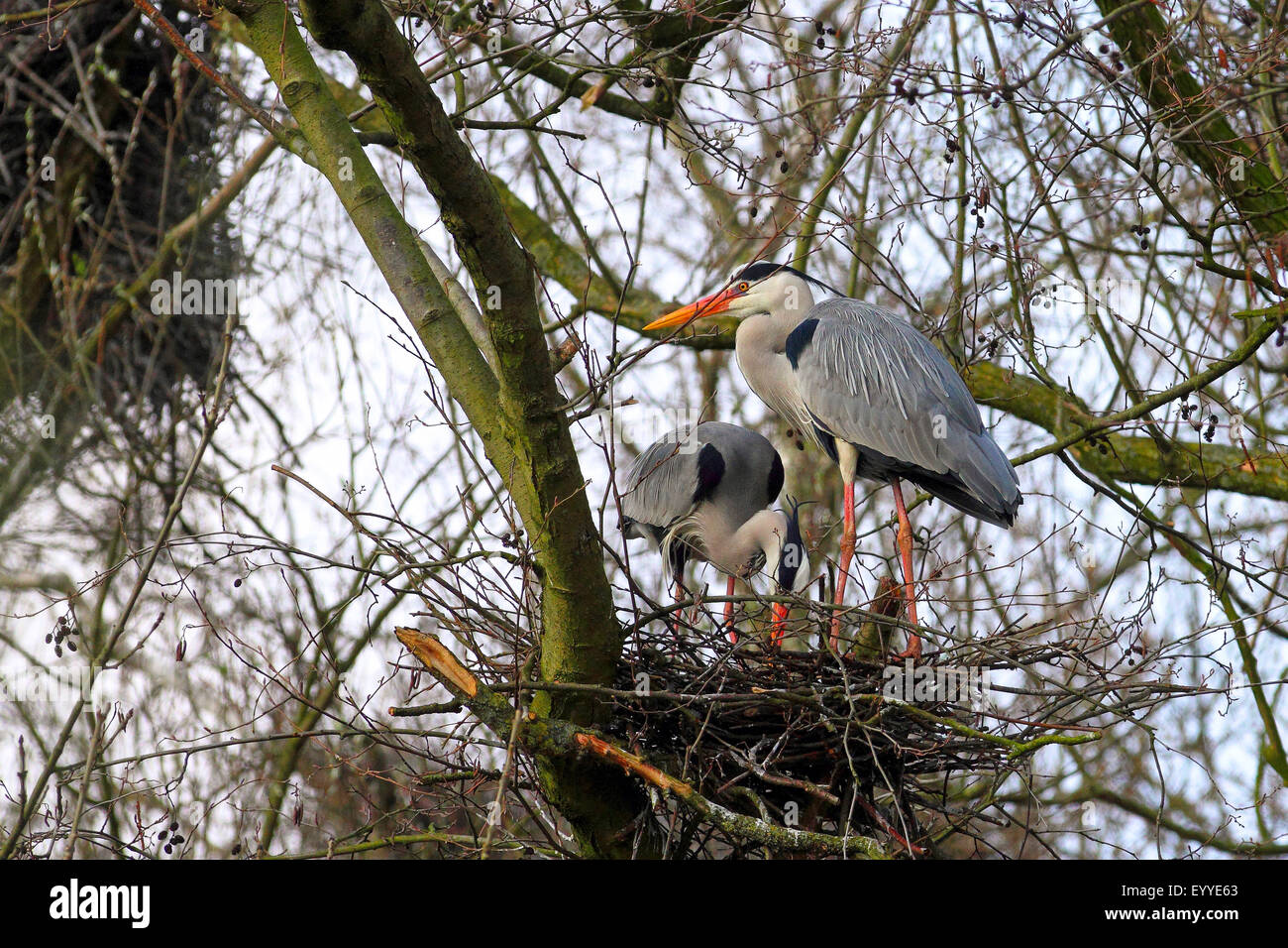 grey heron (Ardea cinerea), breeding pair at the nest, Germany - Stock Image